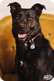 German Shepherd Dog/Labrador Retriever Mix Dog for adoption in Portland, Oregon - Bella