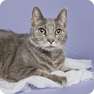 Domestic Shorthair Cat for adoption in Wilmington, Delaware - Manny