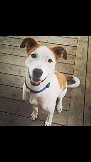 American Pit Bull Terrier/Boxer Mix Dog for adoption in Boerne, Texas - Ranger