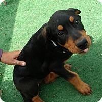 Adopt A Pet :: Diva - Wichita Falls, TX