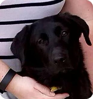 Border Collie/Labrador Retriever Mix Puppy for adoption in Manhattan, Illinois - Molly