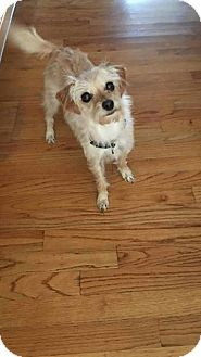 Yorkie, Yorkshire Terrier/Chihuahua Mix Dog for adoption in Lorain, Ohio - Ginger