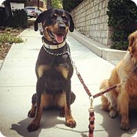 Adopt A Pet :: Gina - Sherman Oaks, CA