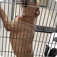 Adopt A Pet :: Patti - Pittsburg, KS