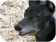 Greyhound Dog for adoption in St Petersburg, Florida - Galen
