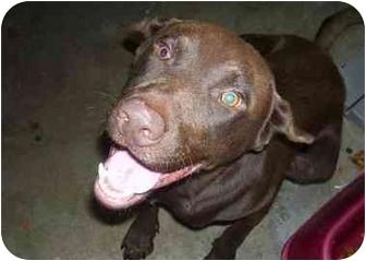 Labrador Retriever Dog for adoption in Osceola, Arkansas - Cho Cho