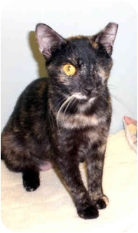 Domestic Shorthair Cat for adoption in Fernandina Beach, Florida - Olive Oil