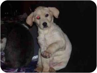 Husky/Labrador Retriever Mix Puppy for adoption in Watertown, South Dakota - Luna