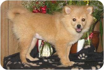 Pomeranian Puppy for adoption in Essex Junction, Vermont - CUTIE