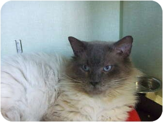 Himalayan Cat for adoption in Chicago, Illinois - King Lear