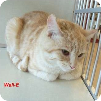 Domestic Shorthair Cat for adoption in Slidell, Louisiana - Wall-E