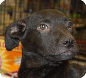 Labrador Retriever/Cane Corso Mix Puppy for adoption in Brooklyn, New York - Tate