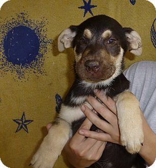 German Shepherd Dog/Labrador Retriever Mix Puppy for adoption in Oviedo, Florida - Annie