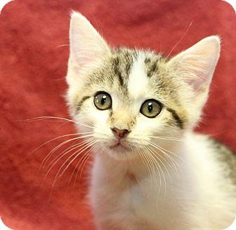Domestic Shorthair Kitten for adoption in Winston-Salem, North Carolina - Boo-Boo