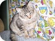 Domestic Mediumhair Kitten for adoption in Anchorage, Alaska - Leo