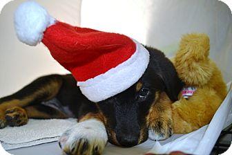 Labrador Retriever/Border Collie Mix Puppy for adoption in Wilmington, Delaware - Joy