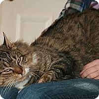 Adopt A Pet :: Runner (purrfect family pet) - Arlington, VA