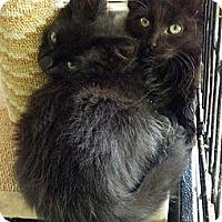 Adopt A Pet :: Posh and Puff - Dallas, TX