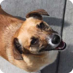Terrier (Unknown Type, Small)/Corgi Mix Dog for adoption in Naperville, Illinois - Iggy