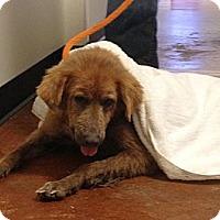 Adopt A Pet :: Loba - New Canaan, CT