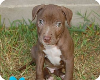 Pit Bull Terrier Mix Puppy for adoption in Austin, Texas - Hobbes