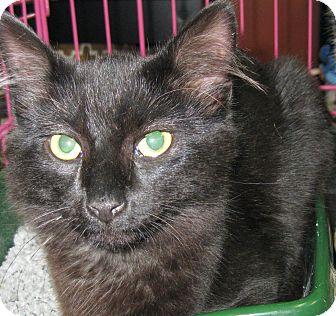 Maine Coon Kitten for adoption in Randolph, New Jersey - Kitten & Mick Jagger