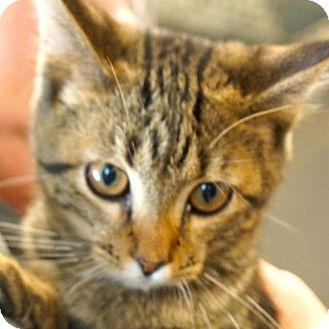 Domestic Shorthair Kitten for adoption in Sprakers, New York - Trooper