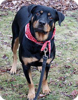 Rottweiler Dog for adoption in SOUTHINGTON, Connecticut - Remmy