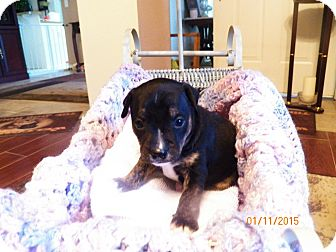 Fox Terrier (Smooth) Mix Puppy for adoption in Mary Esther, Florida - Fox Terrier mix puppy #6