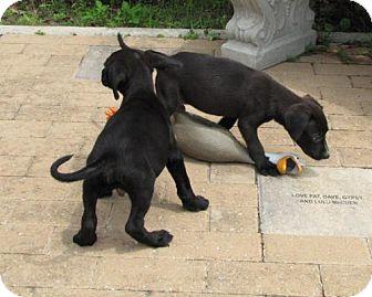 Labrador Retriever Mix Puppy for adoption in Port St. Joe, Florida - Walter & Warren