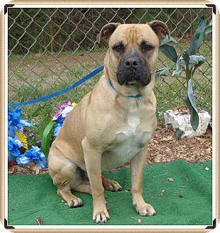 Boxer Mix Dog for adoption in Marietta, Georgia - ZEUS