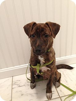 Terrier (Unknown Type, Medium) Mix Puppy for adoption in Plainfield, Connecticut - Bailey (In New England)