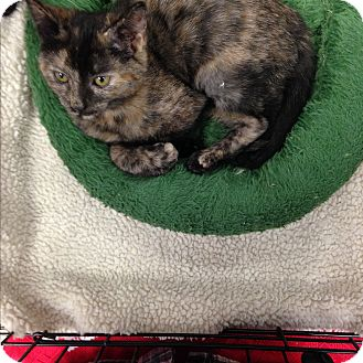 Domestic Shorthair Kitten for adoption in Simpsonville, South Carolina - Peru
