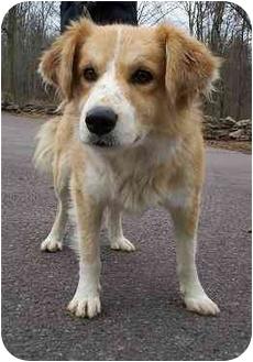 Australian Shepherd Mix Dog for adoption in Honesdale, Pennsylvania - Dutch