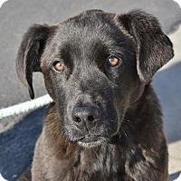 Adopt A Pet :: Little Bear - Meridian, ID