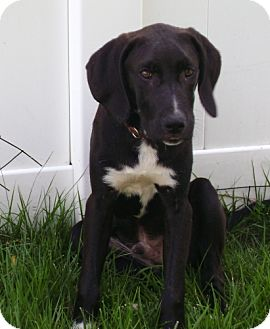 Labrador Retriever Mix Puppy for adoption in Rockville, Maryland - Jason