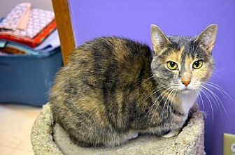 Domestic Shorthair Cat for adoption in Milwaukee, Wisconsin - Miss Priss