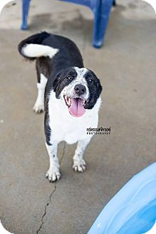 Border Collie Mix Dog for adoption in whiting, New Jersey - Ariel