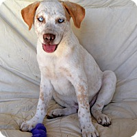 Adopt A Pet :: *Merle - PENDING - Westport, CT