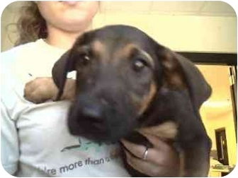 Golden Retriever/Shepherd (Unknown Type) Mix Puppy for adoption in Walker, Michigan - Fiesty
