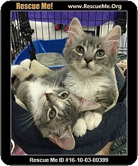 Maine Coon Kitten for adoption in Waldorf, Maryland - Savannah and Stella