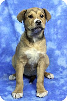 Retriever (Unknown Type) Mix Puppy for adoption in Westminster, Colorado - BLONDIE