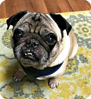 Pug Dog for adoption in Grapevine, Texas - Dexter
