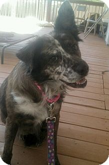 Australian Cattle Dog Mix Dog for adoption in Apache Junction, Arizona - Gracie