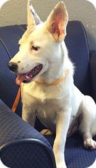 Shepherd (Unknown Type)/Spitz (Unknown Type, Large) Mix Puppy for adoption in San Leon, Texas - Dominika