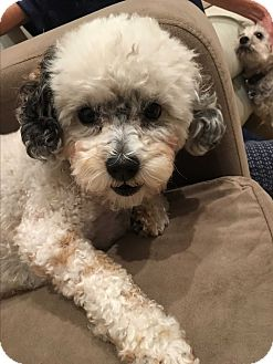 Poodle (Miniature)/Havanese Mix Dog for adoption in Carlsbad, California - Panda