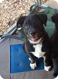 Australian Shepherd/Blue Heeler Mix Puppy for adoption in Greeneville, Tennessee - TUCKER