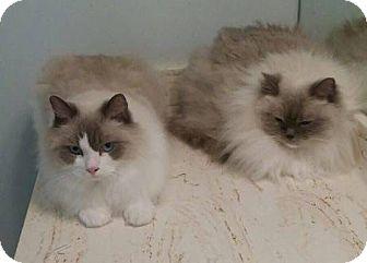 Ragdoll Cat for adoption in Atlanta, Georgia - Oliver and Olivia