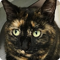 Domestic Shorthair Cat for adoption in Clayville, Rhode Island - May -- Young!
