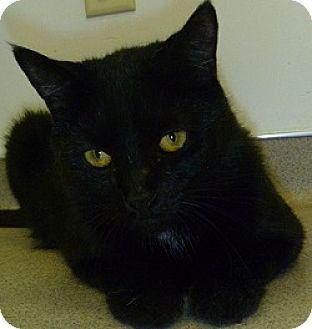Domestic Shorthair Cat for adoption in Hamburg, New York - Lilith